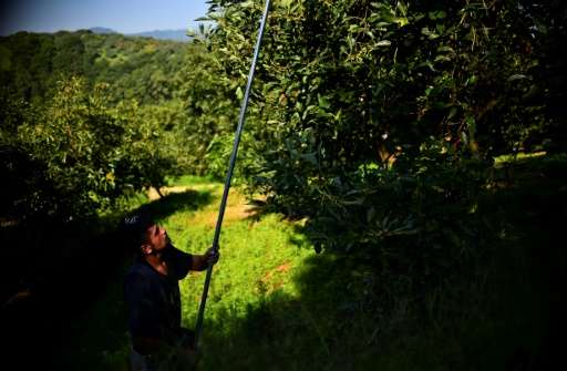 A farmer harvests avocados at an orchard in Mexico's municipality of Uruapan, Michoacan State