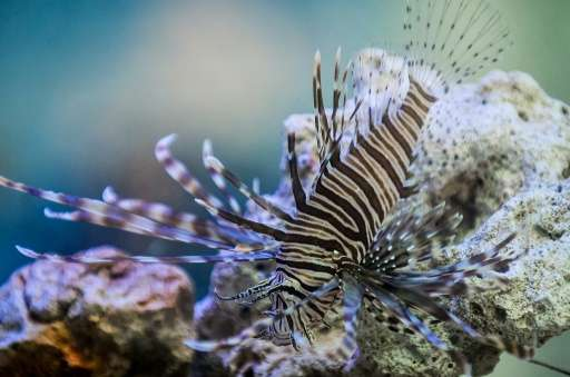 A favorite in aquariums for its flamboyant spines and vibrant orange and red stripes, the lionfish is wreaking havoc on ecosyste