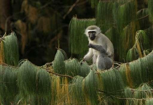 A female vervet monkey eats in South Africa