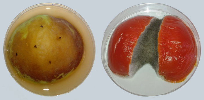A fungal infection that could help researchers to understand some allergies