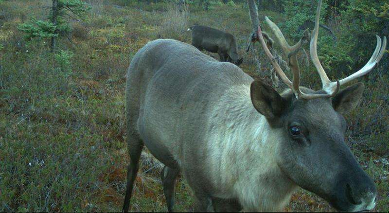Aggressive protection plan for caribou ranges in northern and central Alberta