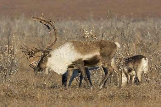 herd alaska