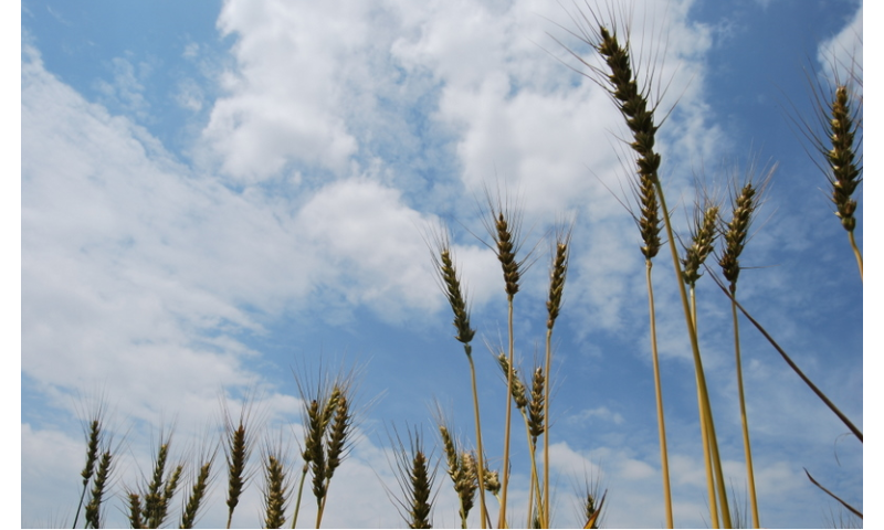 A lesson from wheat evolution: From the wild to our spaghetti dish