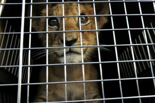 """A lion cub pictured in a cage at an undisclosed location in Lebanon before he was rescued by the NGO """"Animals Lebanon"""""""