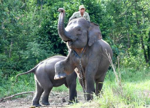 A loss of elephant habitat in Indonesia's Sumatra island pushes the animals into increased contact with humans, with risks of ha