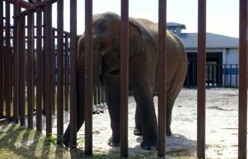 A male elephant stands in his enclosure at the Ringling Bros. Center for Elephant Conservation in Polk City, Florida on March 8,