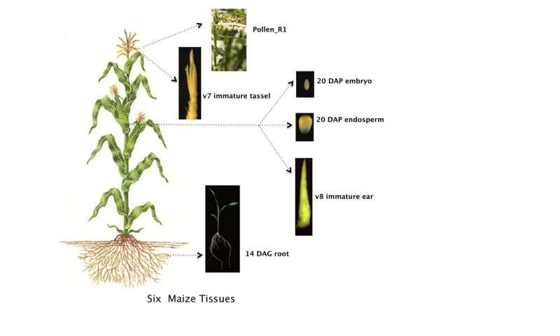 Amazing Maize Diversity