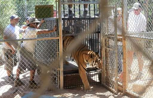A mixed Siberian-Bengali tiger named Kuba steps out of a cage back to his enclosure upon return to the Wildlife Waystation in Sy