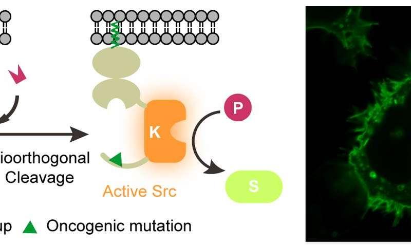 A molecular switch to better understand signaling