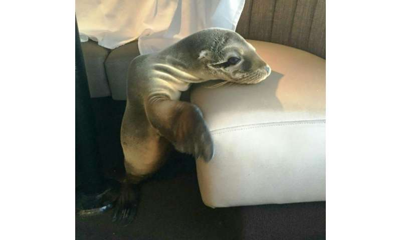 An 8 month-old female sea lion was found sleeping in a booth of The Marine Room, a restaurant in La Jolla, California on Februar
