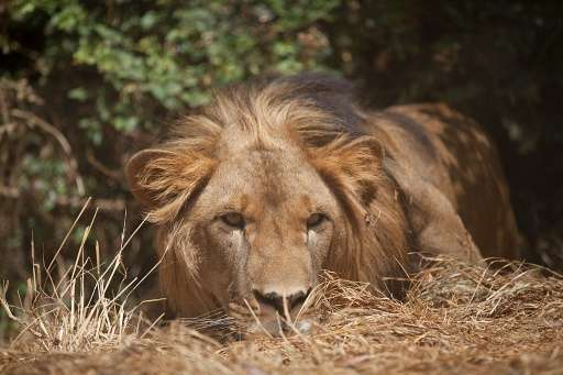An Abyssinian lion—which was rescued from captivity—rests at a 'Born Free' game reserve in Addis Ababa, Ethiopia