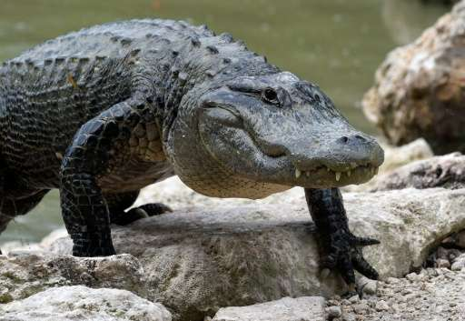 An American Alligator walks out of the lagoon at Everglades Alligator Farm in Homestead, Florida