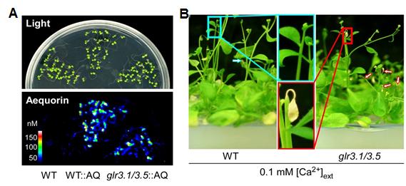 An amino acid controls plants' breath