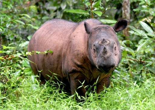 Andatu is part of a special breeding programme for Sumatran rhino at Way Kambas National Park in Indonesia