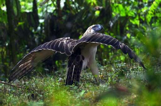 An endangered monkey-eating eagle which was released into the wild is fighting for survival after being shot