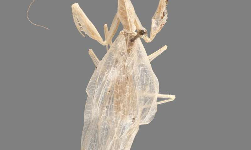 A new species and genus of 'horned necked' praying mantis from a French museum collection