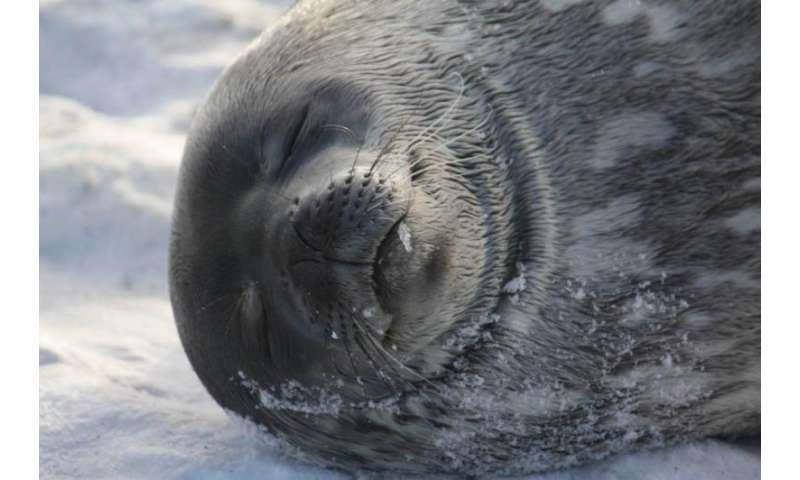 Antarctic wildlife at risk from human derived E. coli