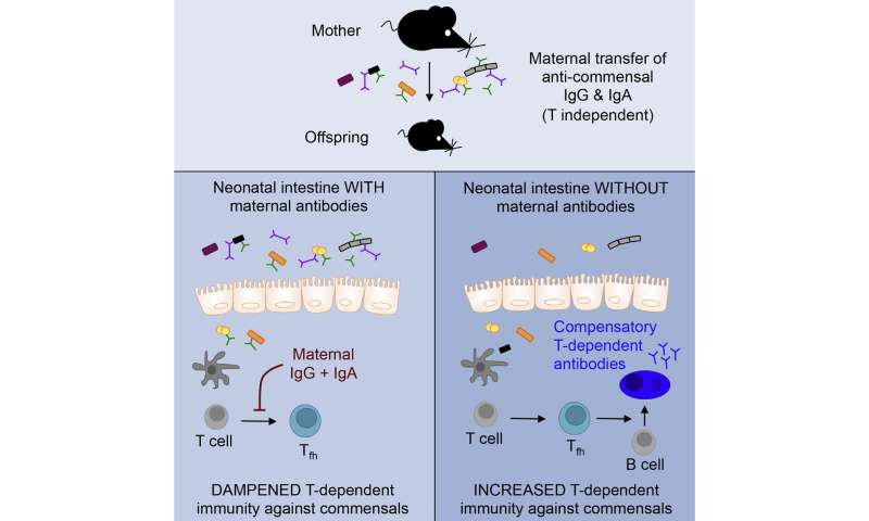 Antibodies in breast milk help newborn mice tolerate good gut microbes