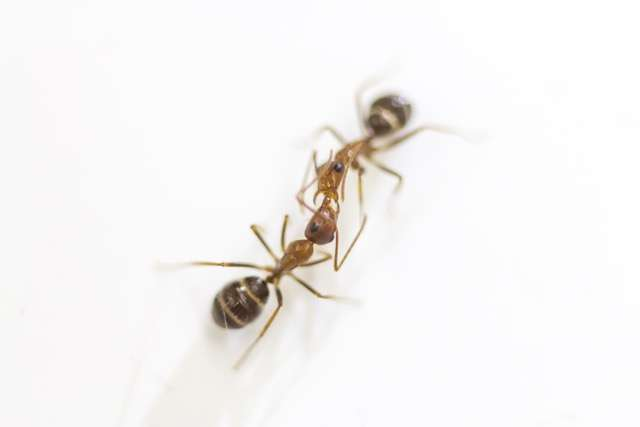 Ants communicate by mouth-to-mouth fluid exchange