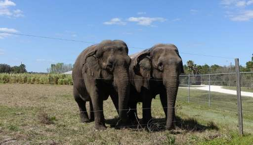 A pair of female elephants stand together on March 8, 2016 in their enclosure at the Ringling Bros. Center for Elephant Conserva