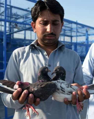 A Pakistani caretaker holds a pair of racing pigeons after a day of flying during the pigeon race national championship in Islam