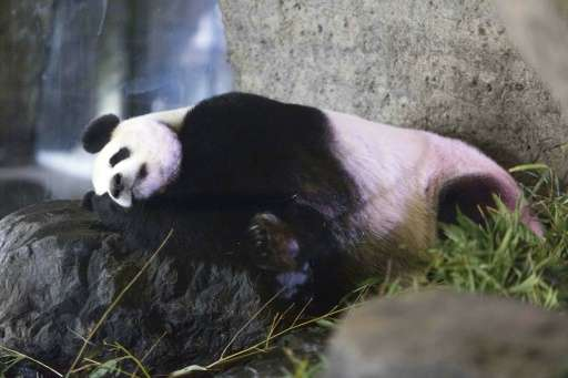 A photo taken on May 18, 2016 shows female giant panda Hao Hao, showing signs of pregnancy at the Pairi Daiza zoo in Belgium