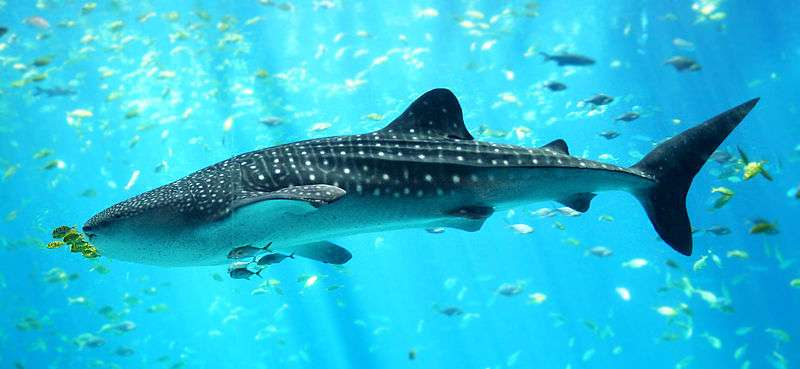 A population study of whale sharks in the Red Sea reveals unique group dynamics
