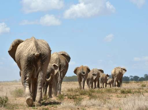 A report by the International Union for Conservation of Nature (IUCN) put Africa's total elephant population at around 415,000,