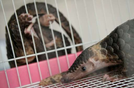 A rescued pangolin rests in a cage as another hangs outside at the customs department in Bangkok