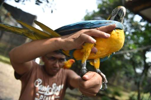 A ring on the leg of a Brazilian makaw at a vast aviary in Bogor, Indonesia, is proof it was bred in captivity and not smuggled