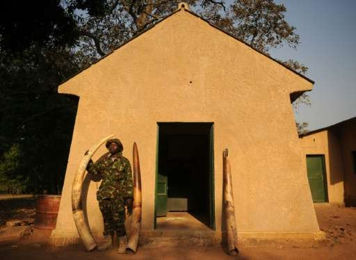 A scout stands next to elephant tusks confiscated from poachers at Garamba National Park