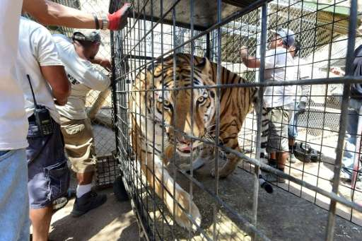 A Siberian tiger named Tyson roams his cage moments before being returned to his enclosure at the Wildlife Waystation in Sylmar,
