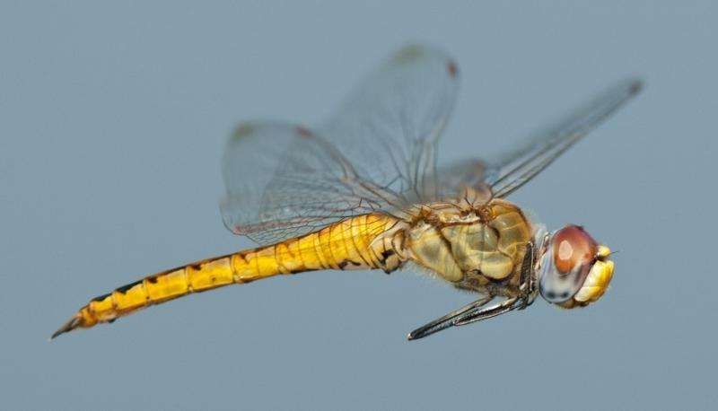A small dragonfly is found to be the world's longest-distance flyer