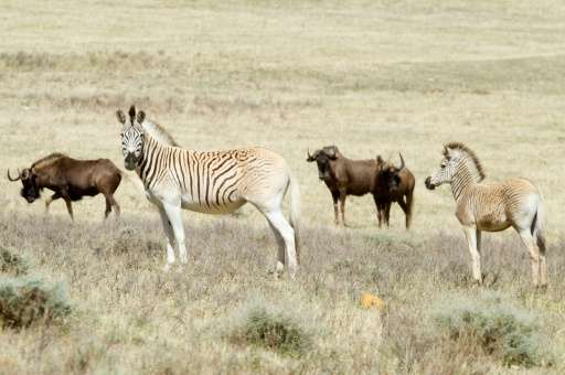 A small group of scientists and conservationists believe they have recreated the quagga, which is distinct from other zebra main