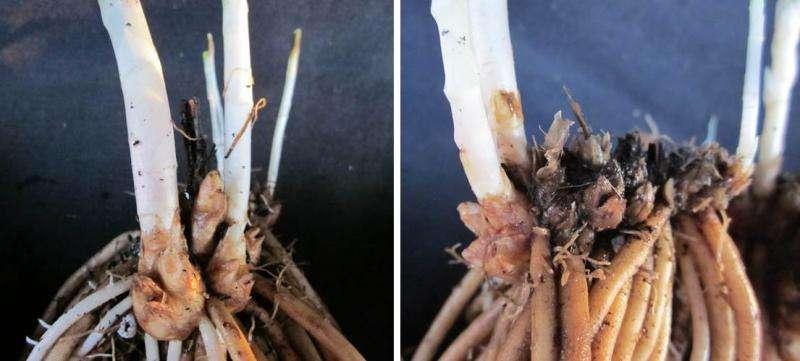 Asparagus freezing tolerance related to rhizome traits