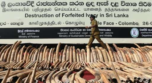 A Sri Lankan customs officer walks past a cache of illegal ivory in Colombo before it was destroyed on January 26, 2016