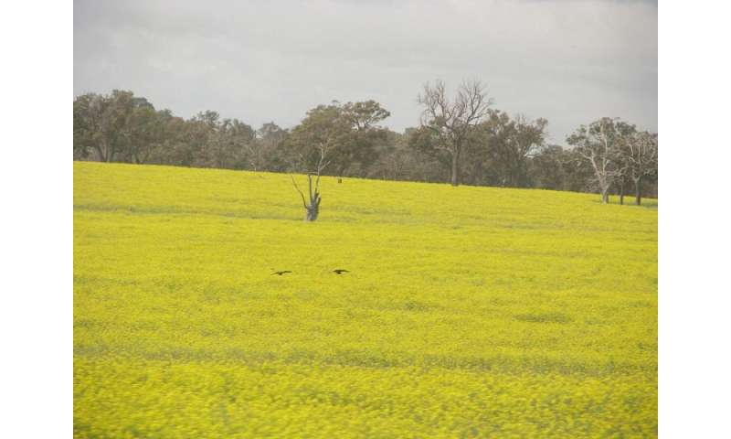 Assessing GM canola's threat to native bushland