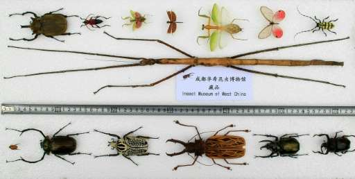 A stick insect (C), declared the world's longest insect, pictured with other smaller ones at the Insect Museum of West China in