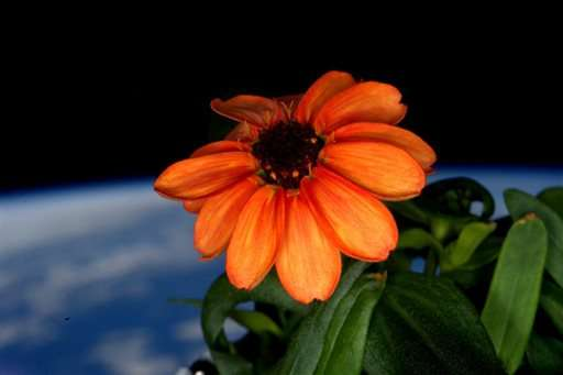 Astronaut nurses zinnia to full bloom after mold invasion