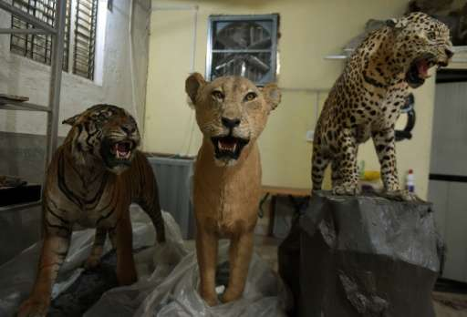 A stuffed tiger (L), lioness (C) and leopard are seen inside the taxidermy centre at the Sanjay Gandhi National park in Mumbai