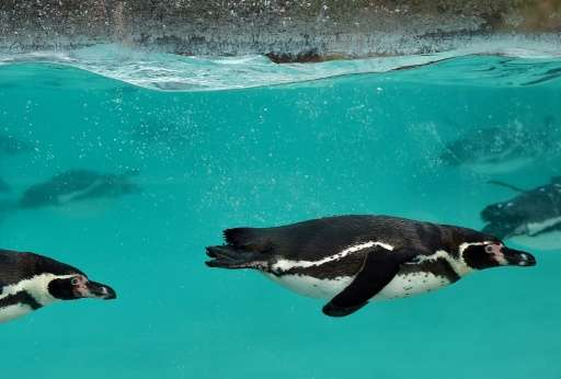 A veterinary team performed autopsies on Humboldt penguins and established drowning as the cause of death