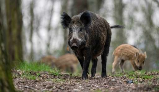 A wild boar led police on a chase after it wandered onto the apron of the international airport