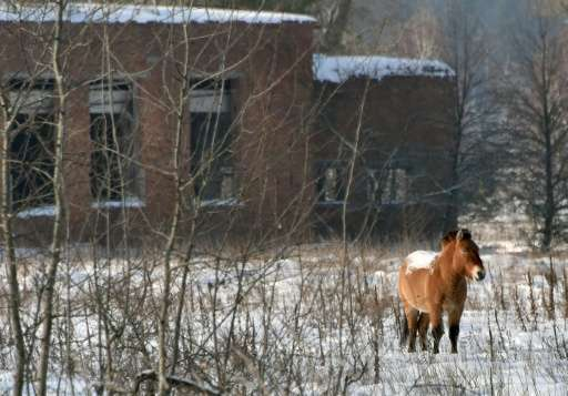 A wild Przewalski's horse stands on a snow covered field in the Chernobyl exclusion zone