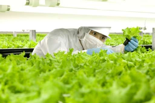 A worker checks lettuces at the indoor farm of Spread company in its Kameoka factory in Kameoka city, Kyoto prefecture June 14,