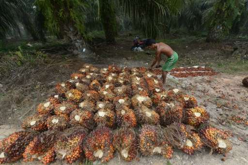 A worker collects palm oil seeds at a plantation in Pelalawan, Riau province on September 16, 2015 in Pelalawan, Riau province,