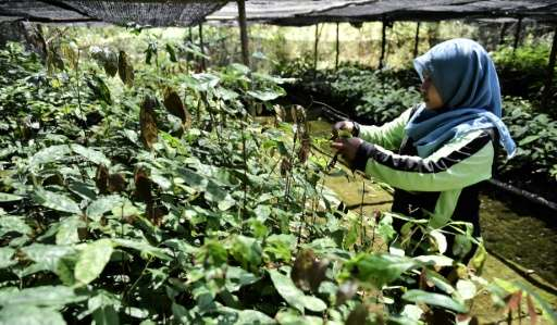 A worker takes care of seedlings given by former loggers as payment for health treatment and to be replanted in reforestation ef