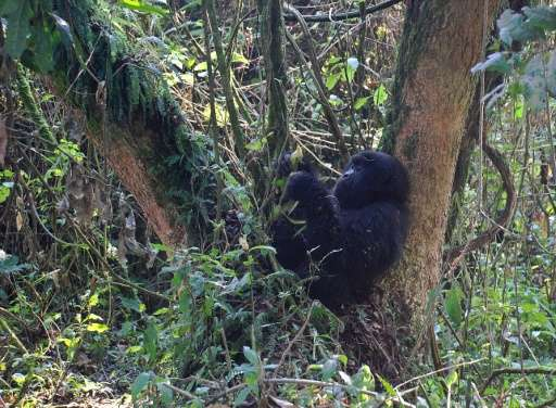 world s largest gorillas one step from going extinct