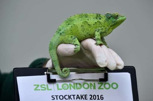 A zookeeper poses with a Jackson's chameleon during the annual stocktake photocall at London Zoo on January 4, 2016
