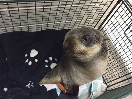 Baby seal found 4 miles from water in San Francisco Bay Area
