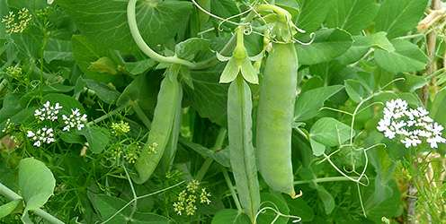 Beans and peas increase fullness more than meat